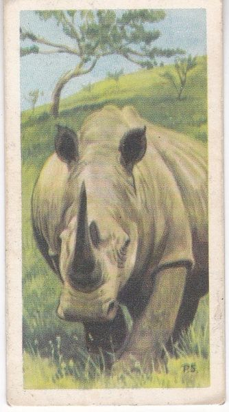 No. 12 White or Square-Lipped Rhinocerous