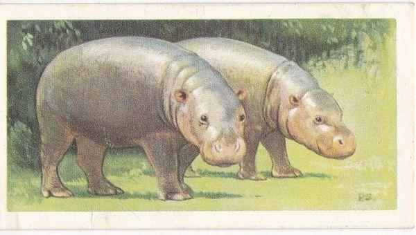 No. 13 Pygmy Hippopotamus