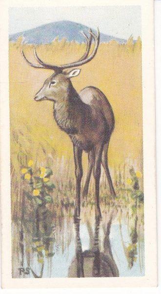 No. 14 Sangai or Manipur Brow-Antlered Deer