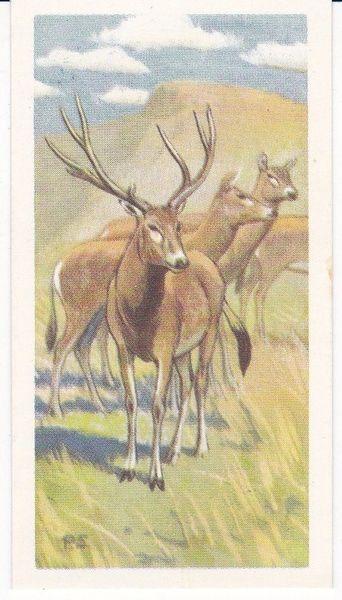 No. 15 Mi-Lu or Pere David's Deer