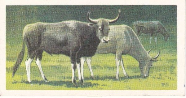 No. 16 Kouprey or Cambodian Forest Ox