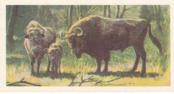 No. 17 European Bison or Wisent