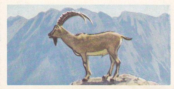 No. 18 Cretan Wild Goat or Agrimi