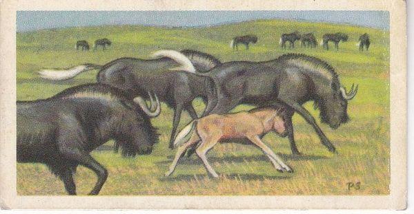 No. 20 White-Tailed Gnu or Black Wilderbeast