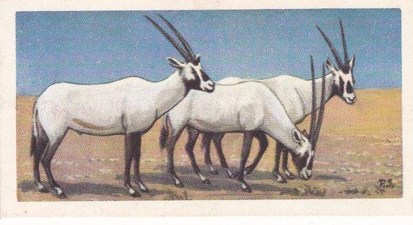 No. 21 Arabian Oryx