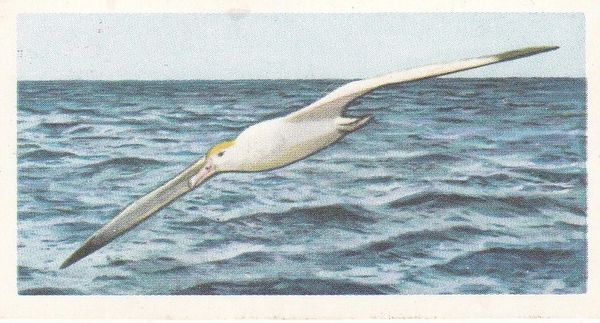 No. 24 Steller's or Short-tailed Albatross