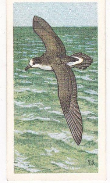 No. 25 Cahow or Bermuda Petrel