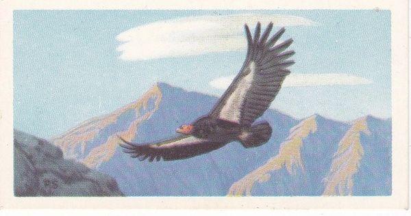 No. 30 Californian Condor