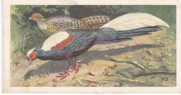 No. 31 Swinhoe's Pheasant