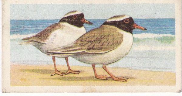 No. 36 New Zealand Shore Plover