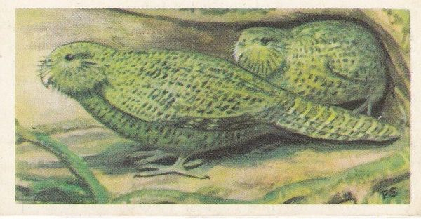 No. 37 Kakapo or Owl Parrot