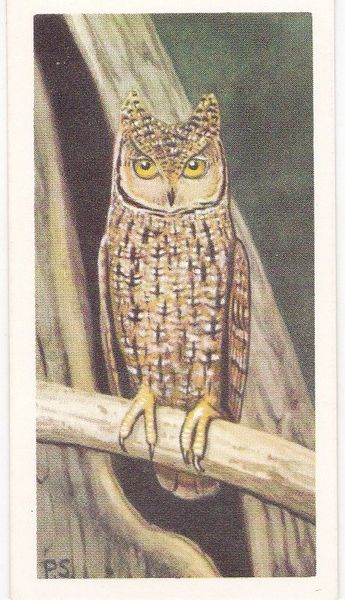 No. 40 Seychelles Owl