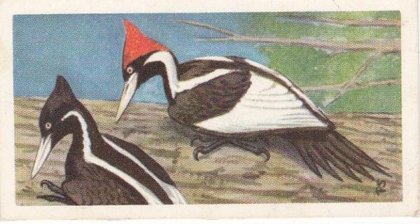No. 41 Ivory-Billed Woodpecker
