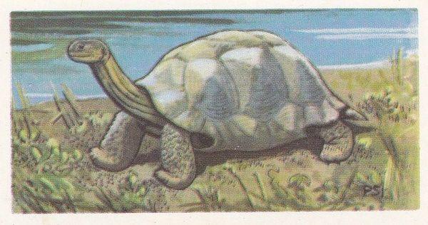 No. 43 Galapagos Giant Tortoise