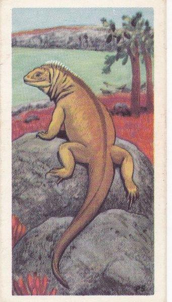 No. 46 Galapagos Land Iguana