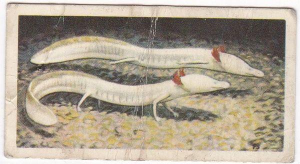 No. 47 Texan Blind Salamander