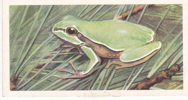 No. 48 Pine Barrens Tree Frog