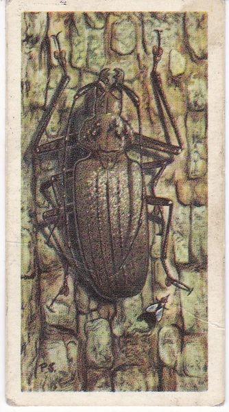 No. 49 Giant Fijian Wood Boring Beetle