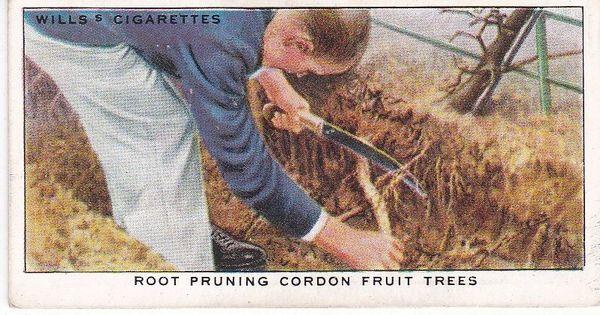 No. 39 Root Pruning Cordon Fruit Trees