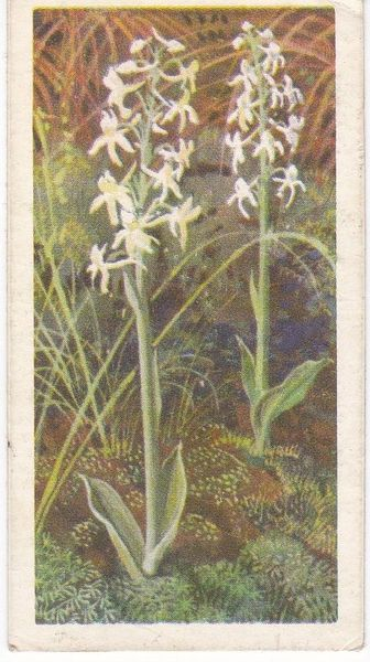 Series 3 No. 18 Lesser Butterfly Orchid