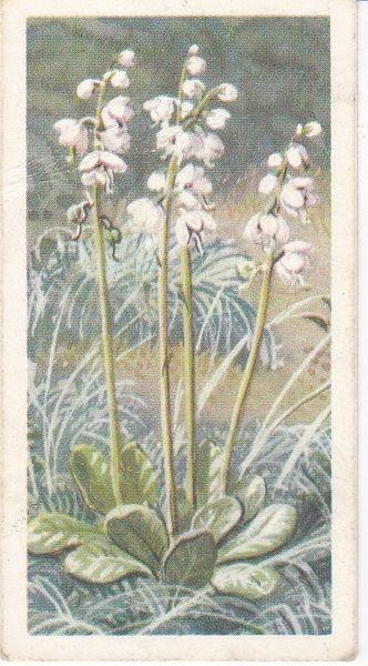 Series 3 No. 24 Larger Wintergreen