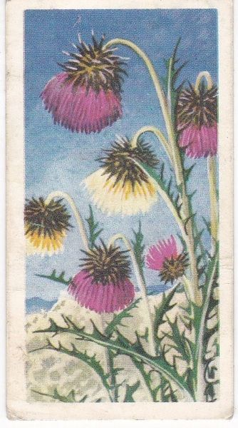Series 3 No. 26 Musk Thistle
