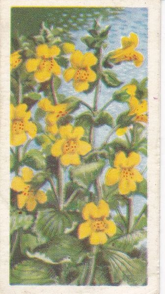 Series 3 No. 27 Monkey Flower
