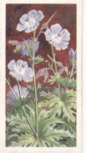 Series 3 No. 29 Meadow Cranesbill