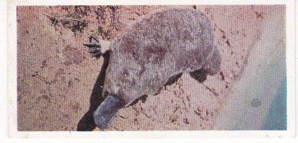 No. 10 Platypus