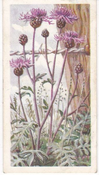 Series 3 No. 44 Greater Knapweed