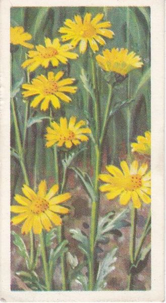 Series 3 No. 47 Corn Marigold
