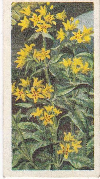Series 3 No. 46 Yellow Loosetrife