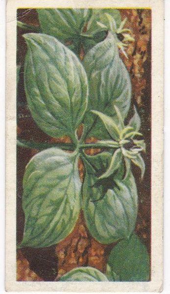 Series 3 No. 07 Herb Paris