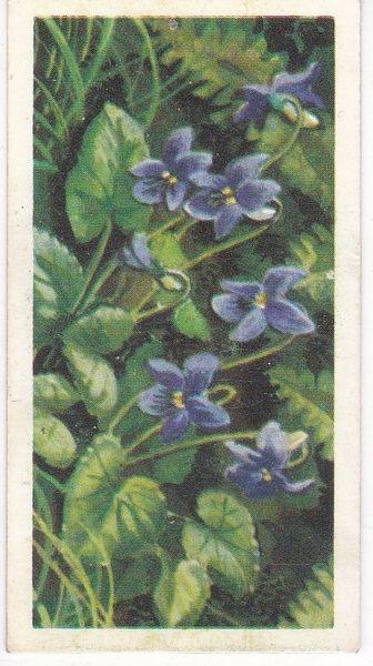 Series 3 No. 10 Common Violet