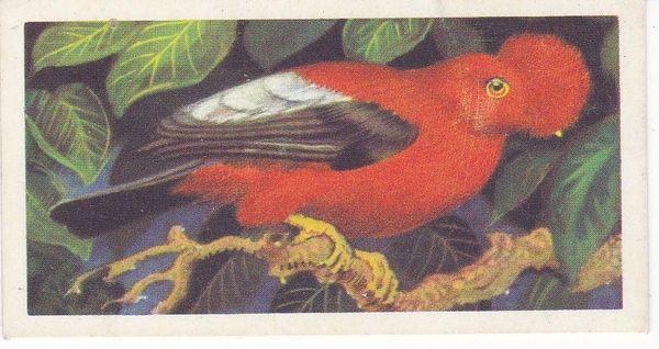 No. 24 Scarlet Cock of the Rock