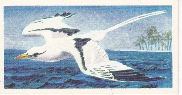 No. 28 White-Tailed Tropic Bird