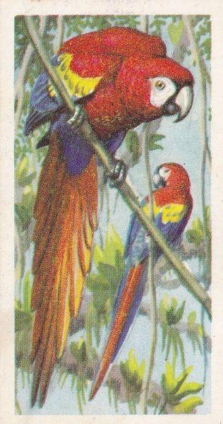 No. 23 Scarlet Macaw