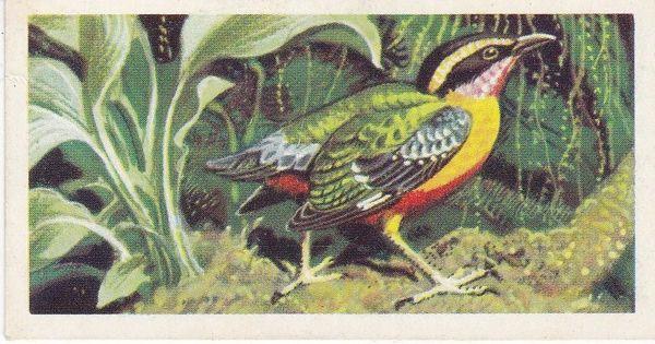 No. 14 Angolan Pitta