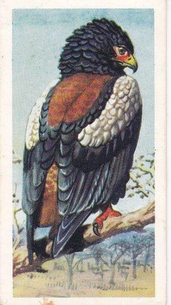 No. 01 Bateleur Eagle