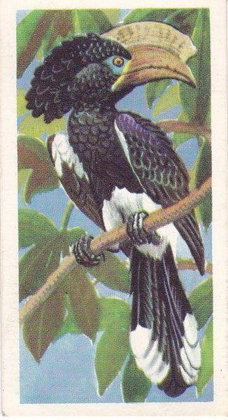 No. 02 Crested Hornbill