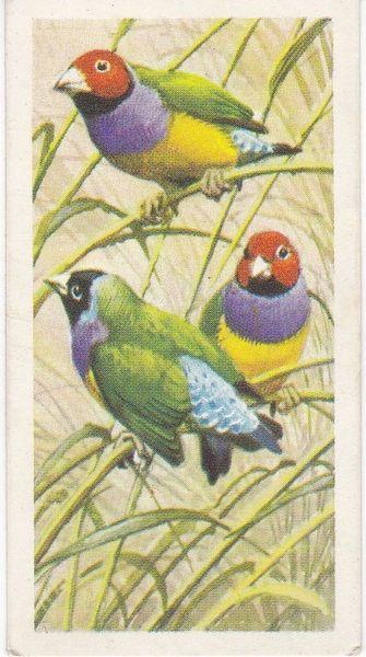 No. 44 Gouldian Finch