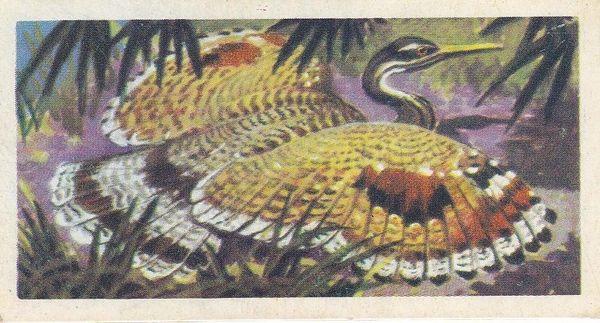 No. 31 Sun Bittern