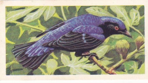 No. 36 Fairy Blue Bird