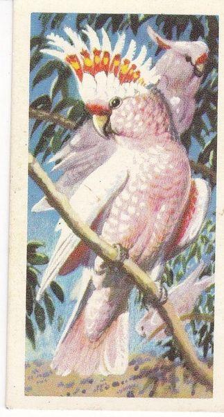 No. 45 Leadbeater's Cockatoo