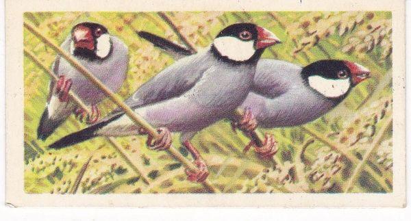 No. 43 Java Sparrow