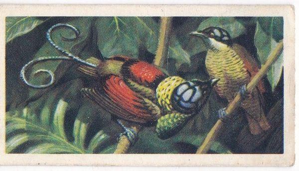 No. 50 Wilson's Bird of Paradise