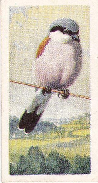 No. 21 Red-Backed Shrike