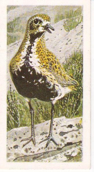 No. 27 Golden Plover