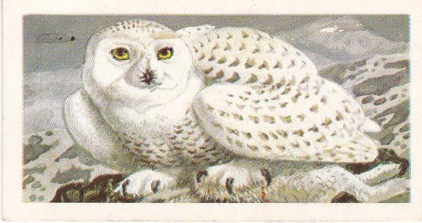 No. 33 Snowy Owl