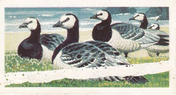 No. 40 Barnacle Goose